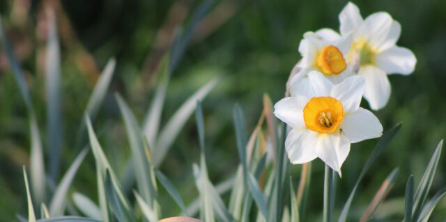 white daffodil flower